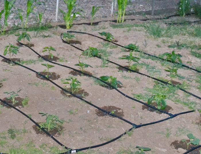 Капельный полив - система шлангов для раздачи воды